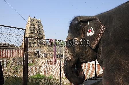 indian elephant in hampi india