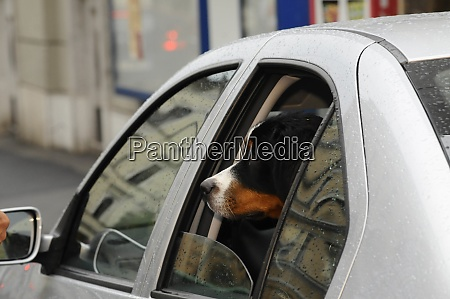 dog transported in the car