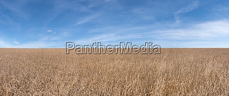 spelt field panorama in front of