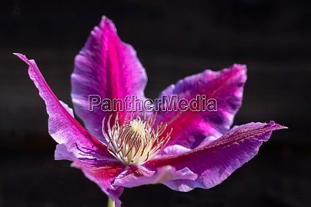 pink clematis blooming in the summer