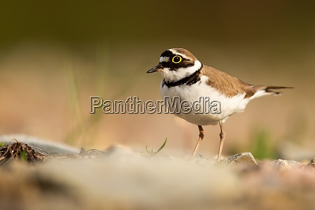 little ringed plover standing on riverbank