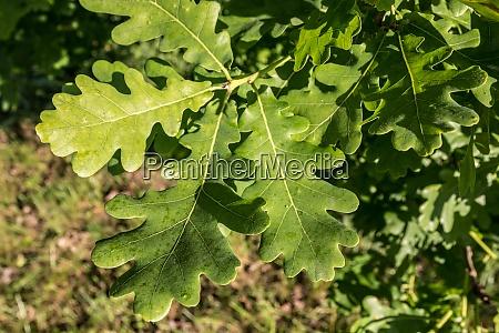 a branch of green oaken leaves