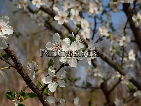 blooming mirabelle plum tree in spring