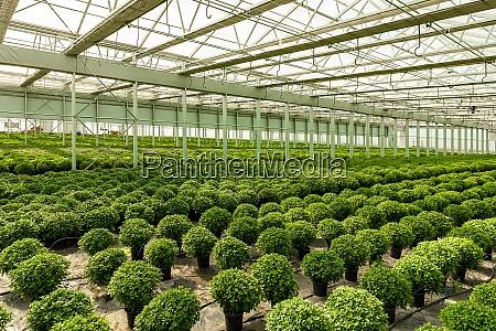round bush chrysanthemums