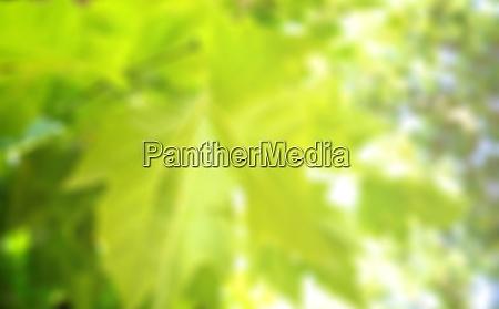 blurred green ahorn leaf in sunshine