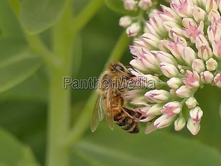 honey bee on livelong flower