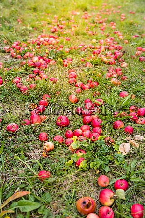 fallen red apples on ground
