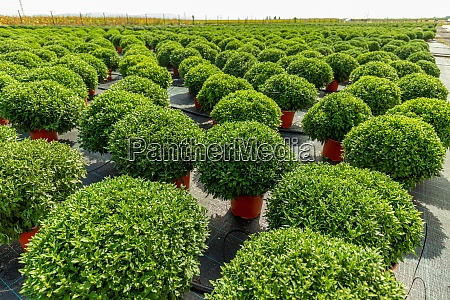 green chrysanthemum plantations
