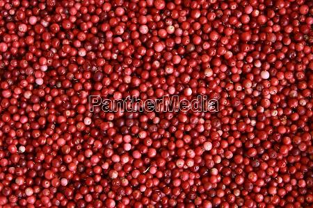 harvest of wild lingonberry berries