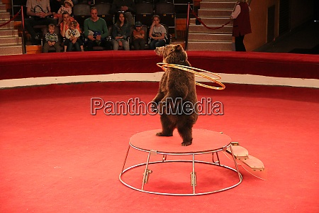 trained bear twisting hoops in circus
