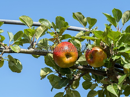 apple ripening on a tree branch