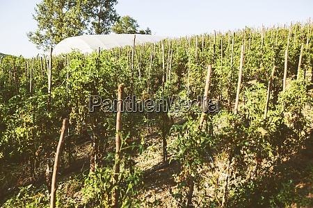 homegrown cultivated organic tomatoes plantation