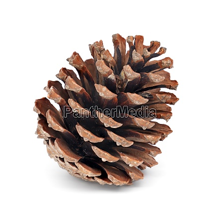 fir cone isolated