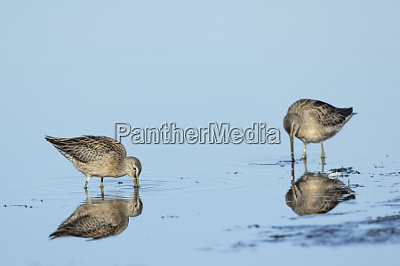 two dowitchers in shallow water