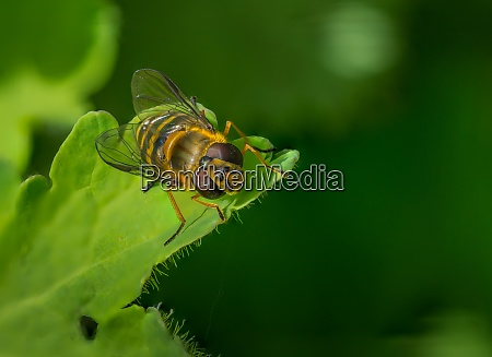 bee on a green leaf in
