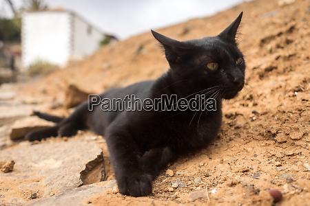 portrait of a black cat lying