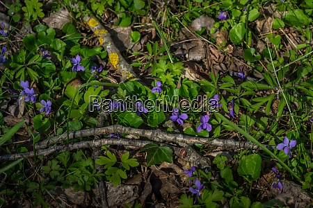 beautiful violet in spring and nature