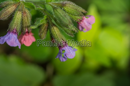 fresh lungwort and green background