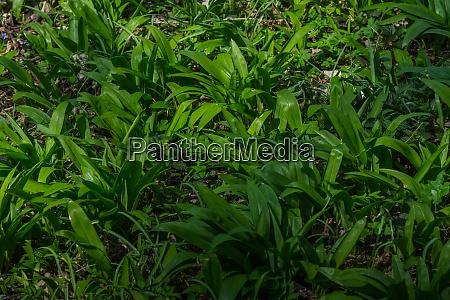 juicy green wild garlic on the
