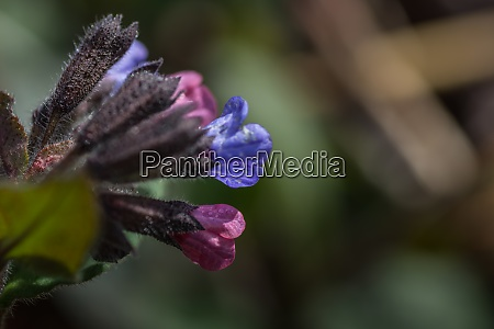 lungwort in spring and nature