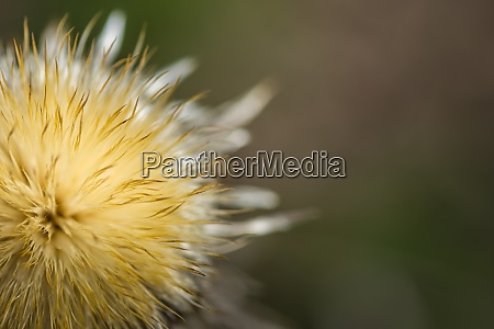 soft thistle blossom with soft background