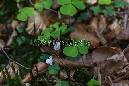 sour clover in the forest in