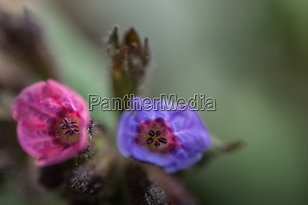red blue blossoms lungwort