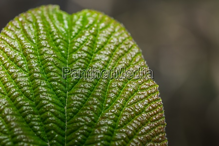 structure from a green leaf in