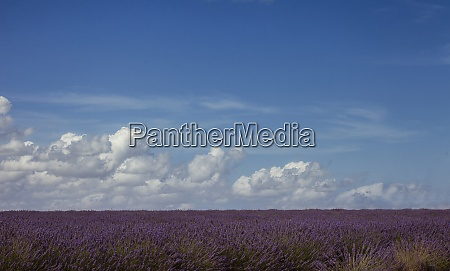 france provence lavender field and cloudy