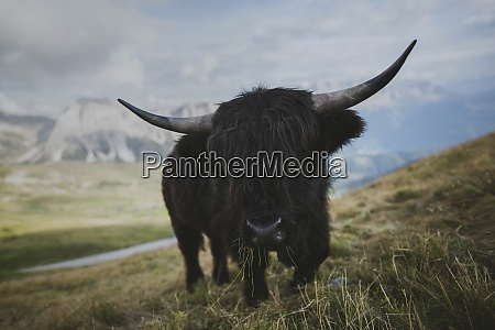 italy dolomite alps highland cattle in
