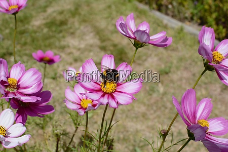 bumblebee pollinating pink cosmos peppermint rock