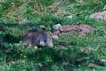 2 marmots observe their surroundings
