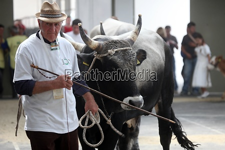 the owners show their cattle to