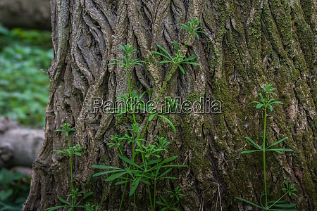 bedstraw climbs on a tree in