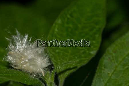 white cotton on a green plant