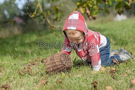 baby boy harvesting walnuts of ground