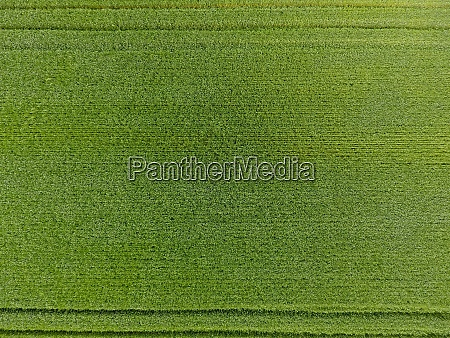the wheat field is green young