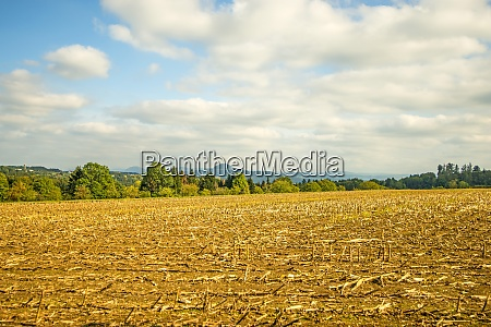harvested corn field with mountain in