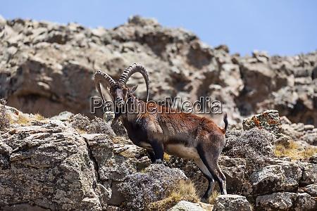 rare walia ibex in simien ethiopia