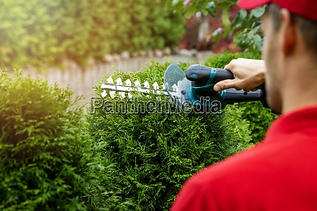 man cutting and shaping evergreen thuja