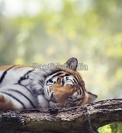 bengal tiger resting on a tree