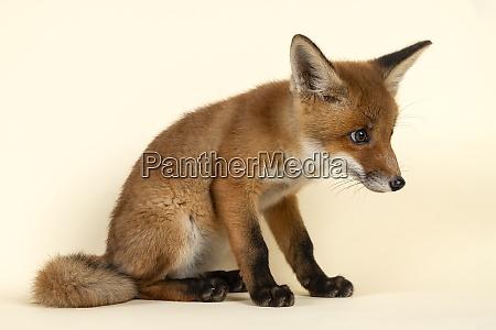 mammal fox 2020 32729