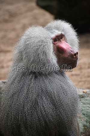 rear side view of hamadryas baboon