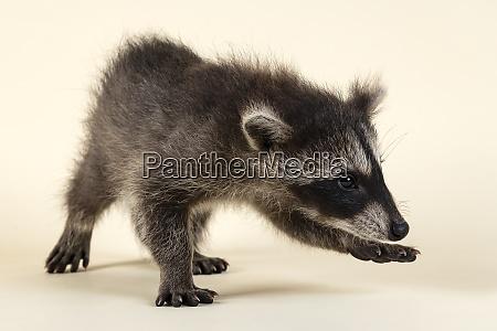 mammal waschbaer 2020 33389