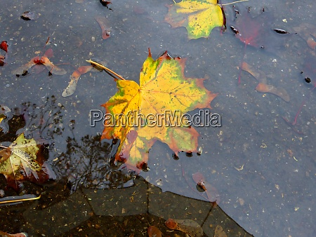 autumnal colored maple leaf on a