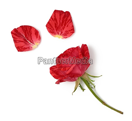 red blooming rose isolated on white