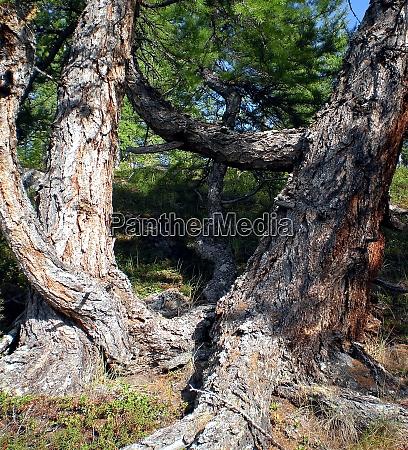 thick trunk of siberian cedar coniferous