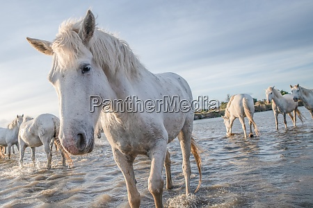 white horses in camargue france