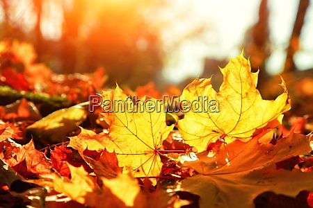 colorful bright leaves falling in autumnal