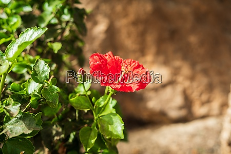 flower of thespesia grandiflora in the